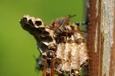 ヤマトアシナガバチ