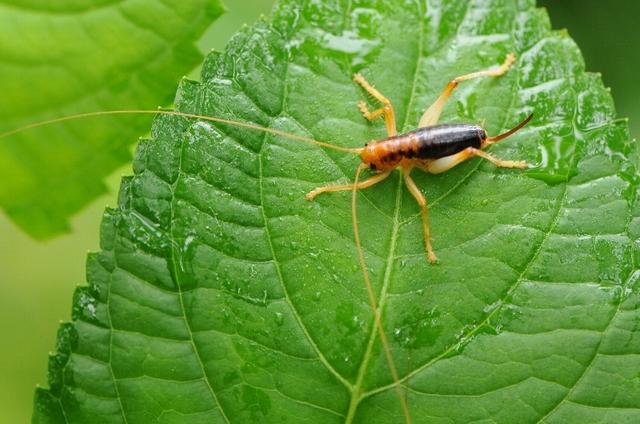 ハネナシコロギス